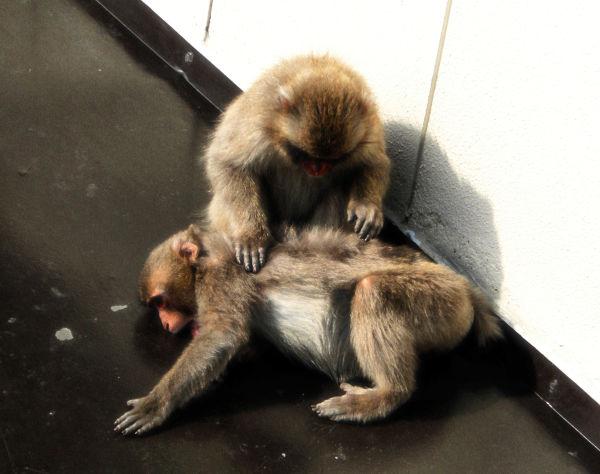 Misen Monkeys 3