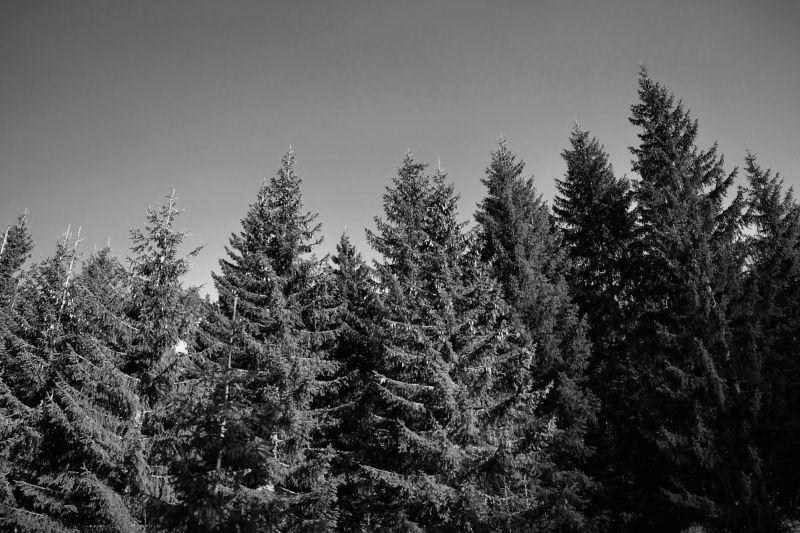 france chatel pine tree