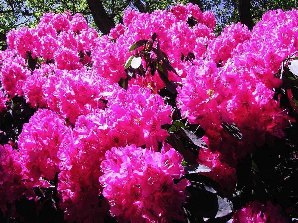 england wisley garden flower