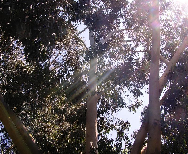 england wisley garden tree eucalyptus