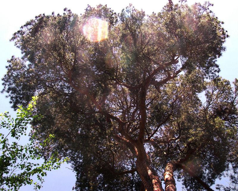 england wisley garden tree pine