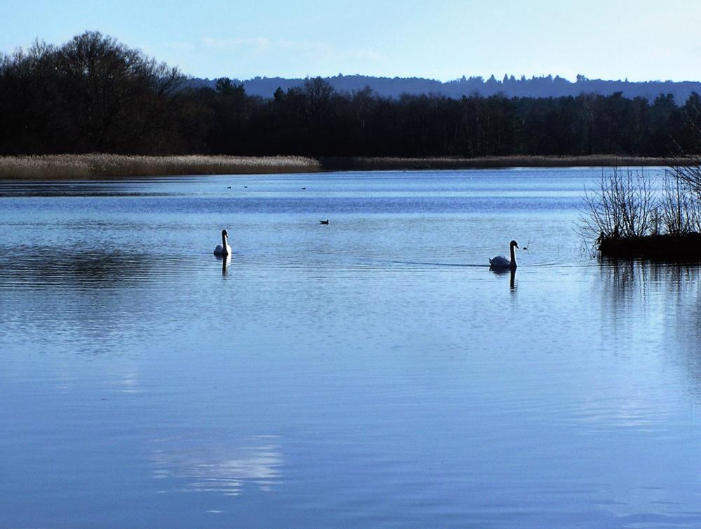 frensham-ponds farnham england pond swan bird