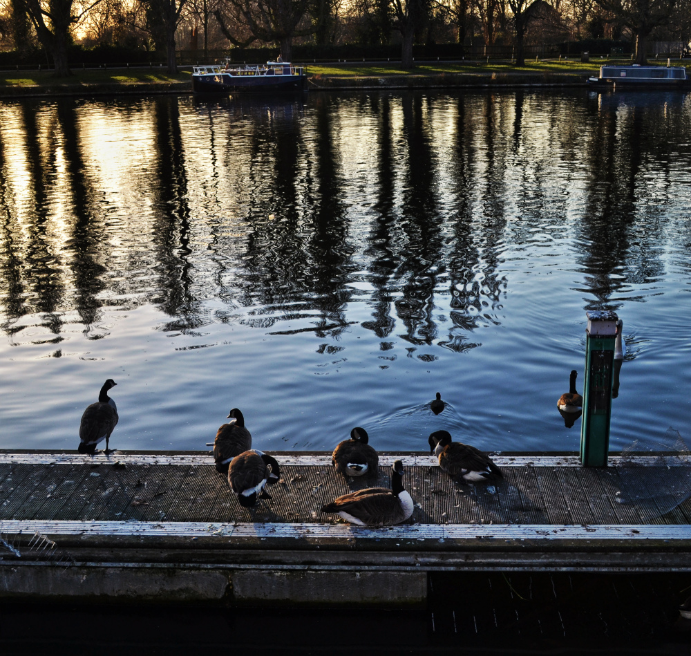 england kingston goose bird river thames