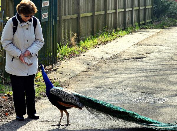 kew-gardens england garden bird peacock