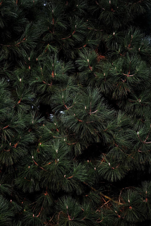 kew-gardens england tree fir pine