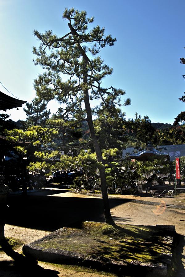 japan kyoto amanohashidate shrine tree