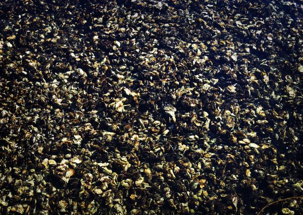 Oysters, Miyazu Bay