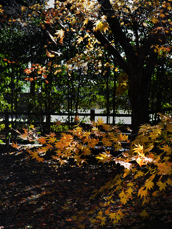 japan kyoto amanohashidate tree leaf momiji maple