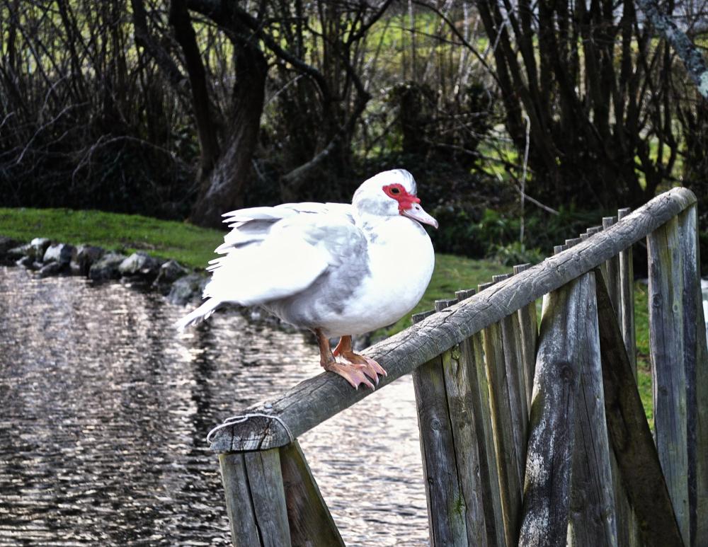 chard somerset hornsbury-mill duck bird england