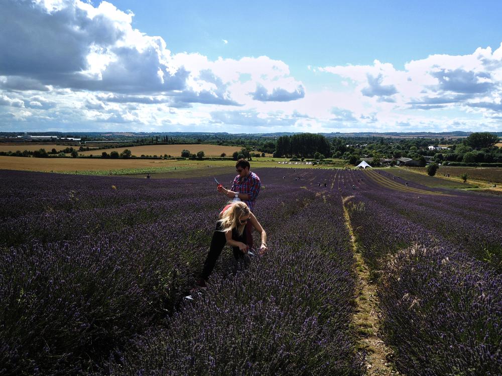 hitchin-lavender lavender farm field england