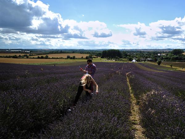 Hitchin Lavender Farm, Hertfordshire 3