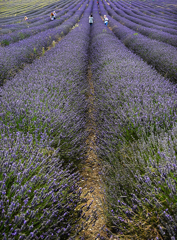 Hitchin Lavender Farm, Hertfordshire 11