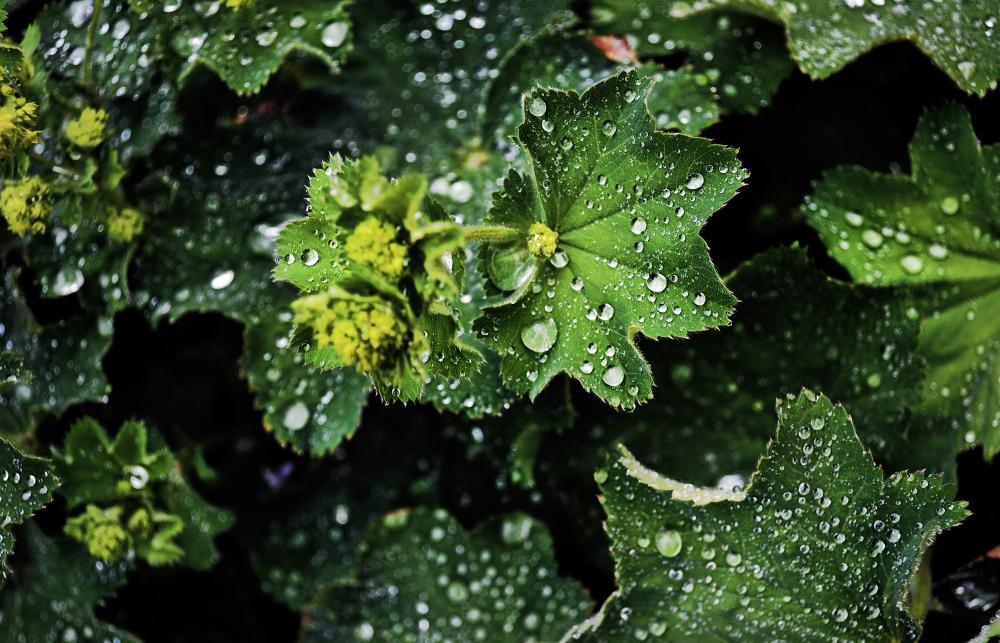 england wisley garden leaf shrub