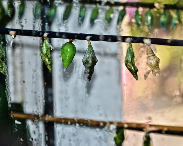 butterfly chrysalis wisley england