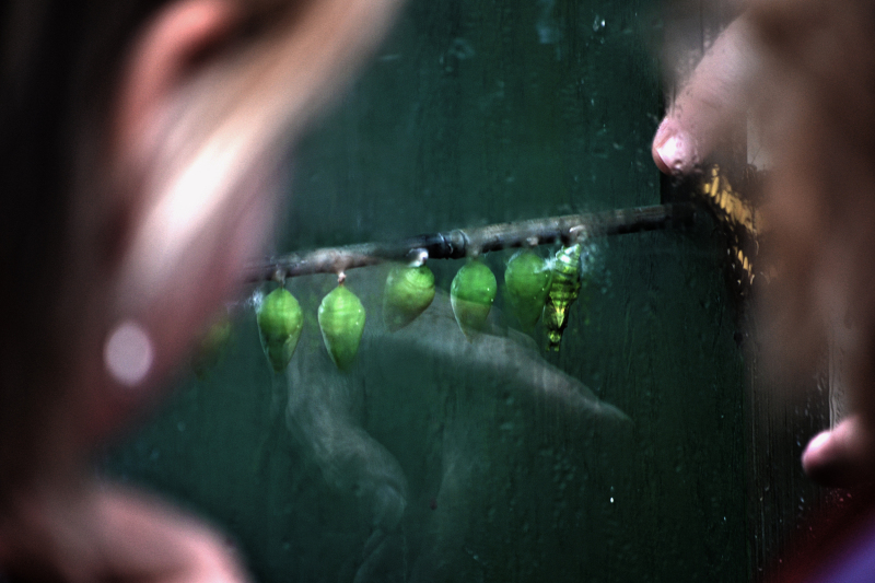 butterfly chrysalis wisley england