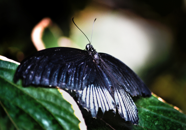 Butterflies at Wisley 4