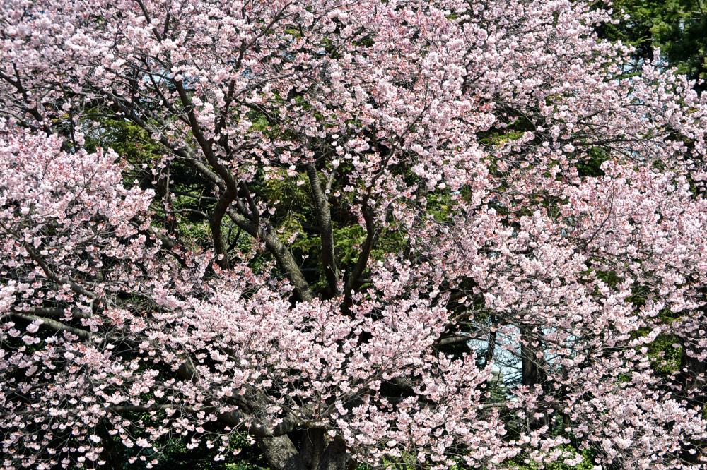 park tokyo shinjuku shinjuku-park japan sakura