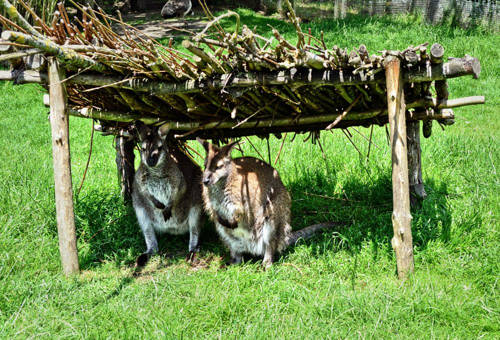 hobbledown-farm zoo england epsom wallaby