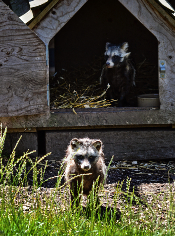 hobbledown-farm zoo england epsom racoon-dog