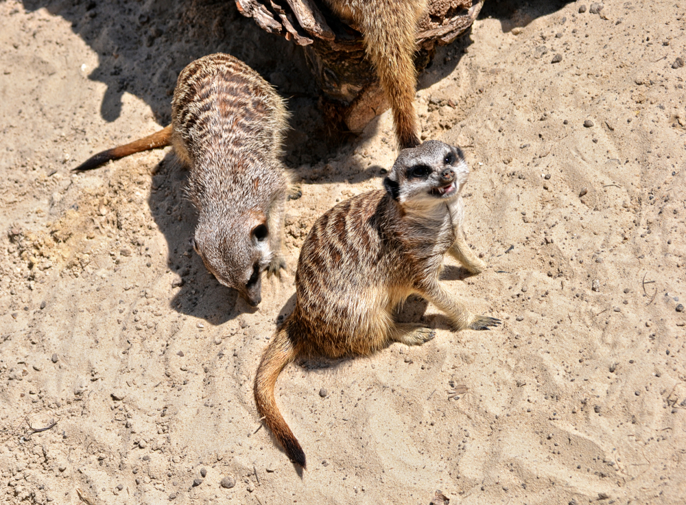 hobbledown-farm zoo england epsom meerkat