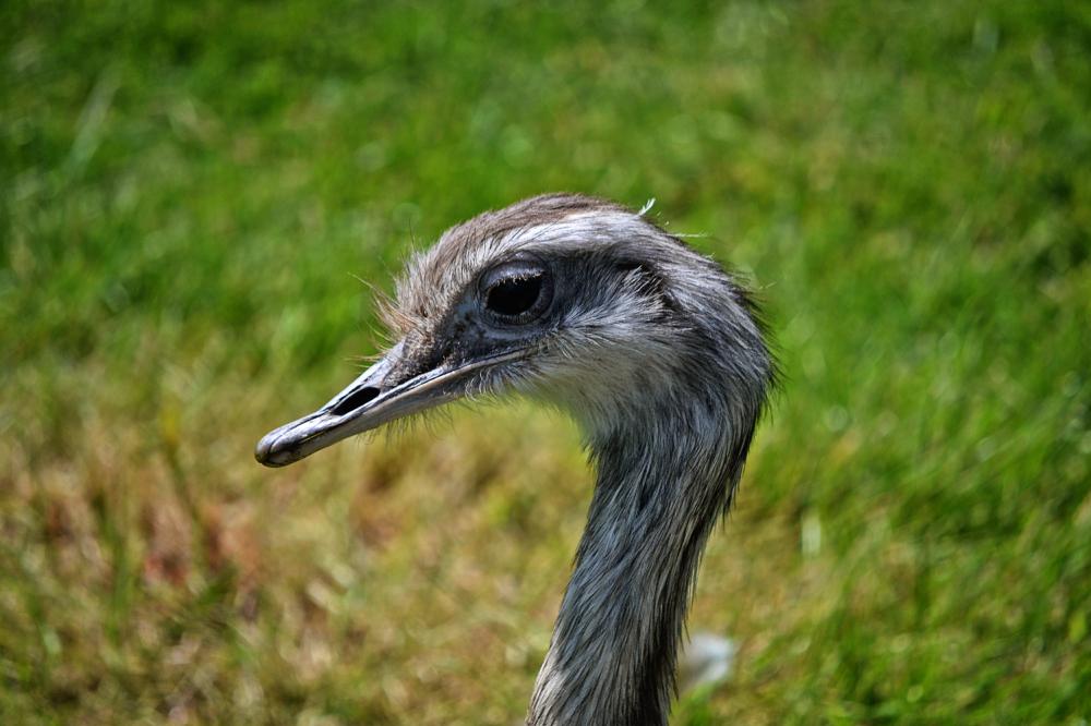 hobbledown-farm zoo england epsom rhea bird