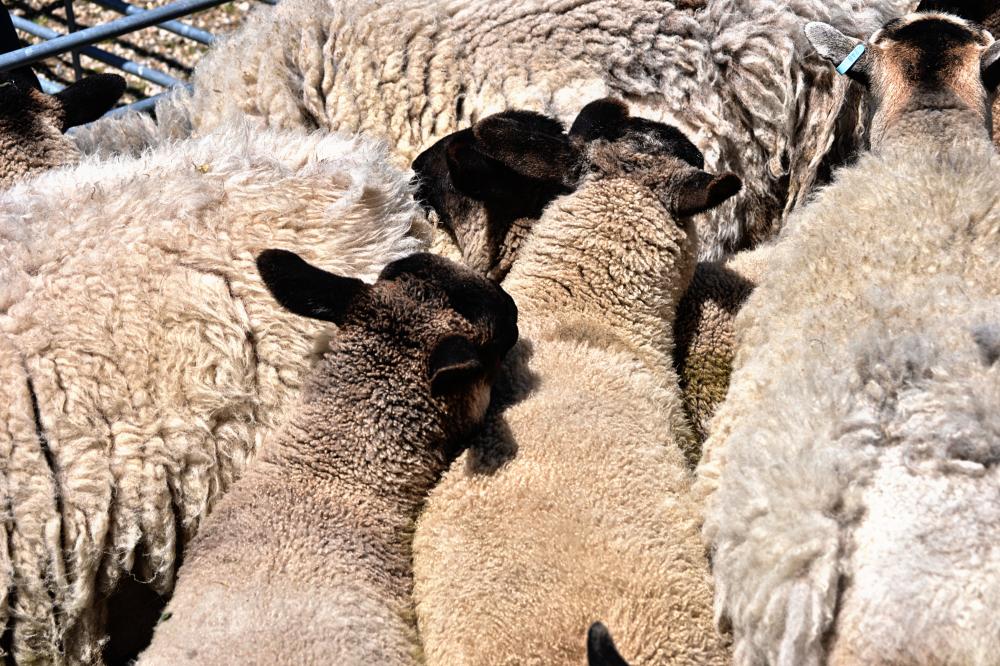 hobbledown-farm zoo england epsom sheep
