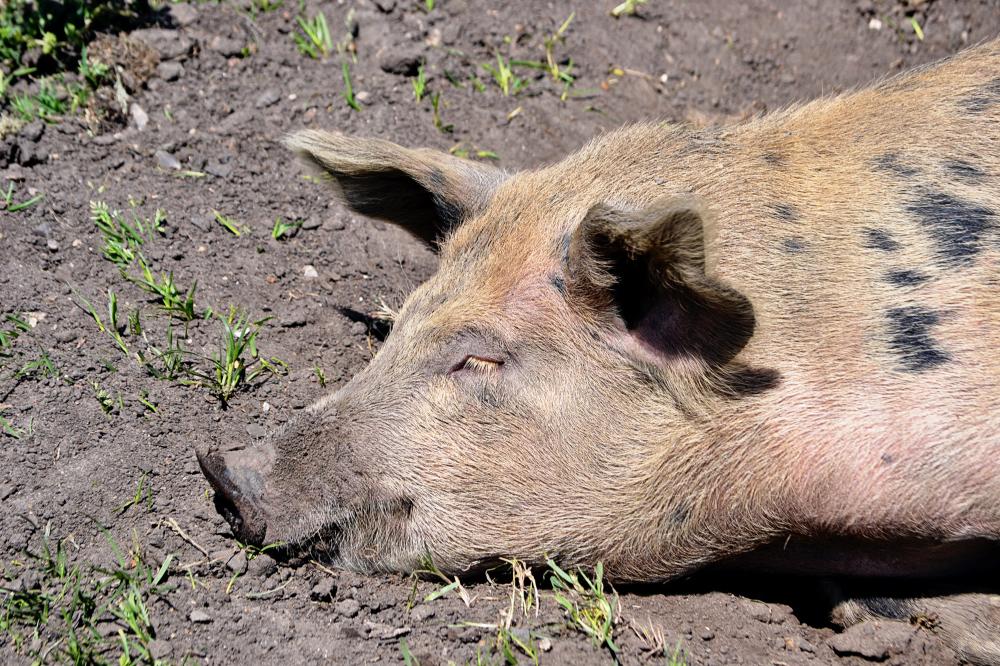 hobbledown-farm zoo england epsom pig