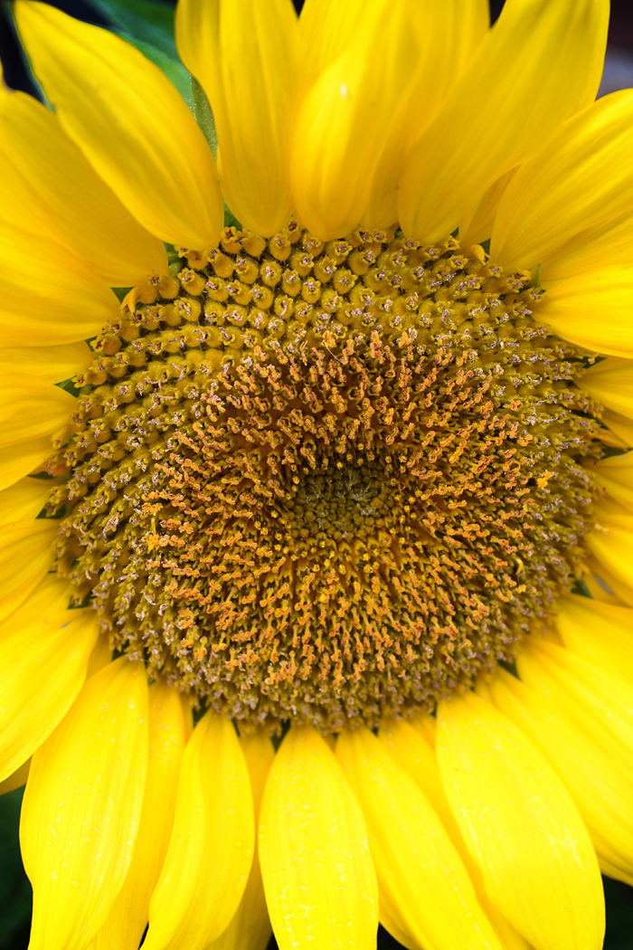 hampton-court palace england flower sunflower