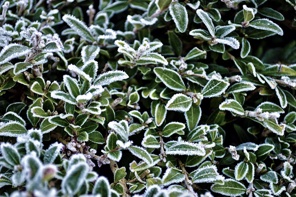 leicester england frost plant