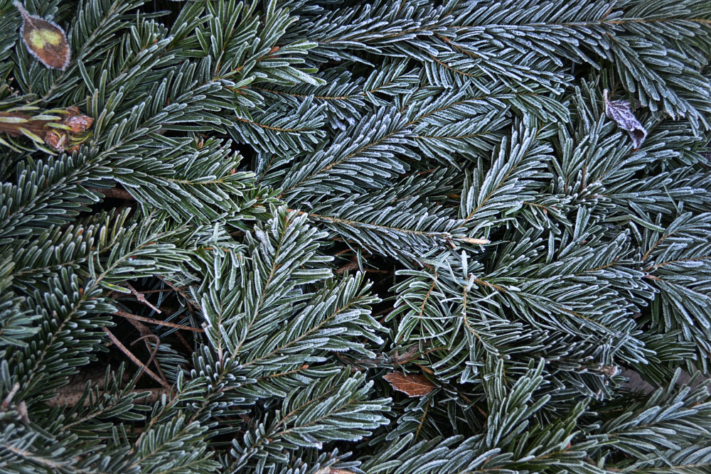 leicester england frost pine