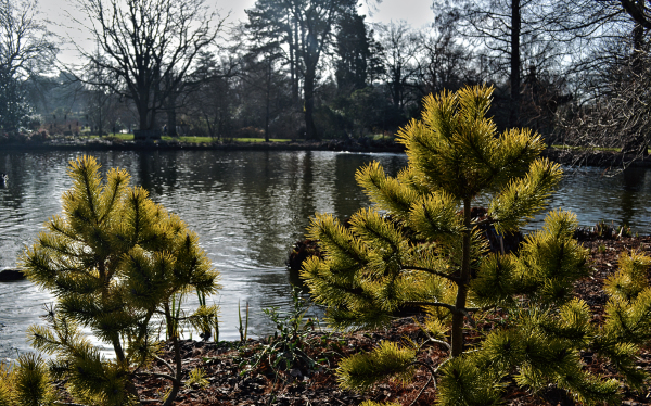 wisley garden england tree pine