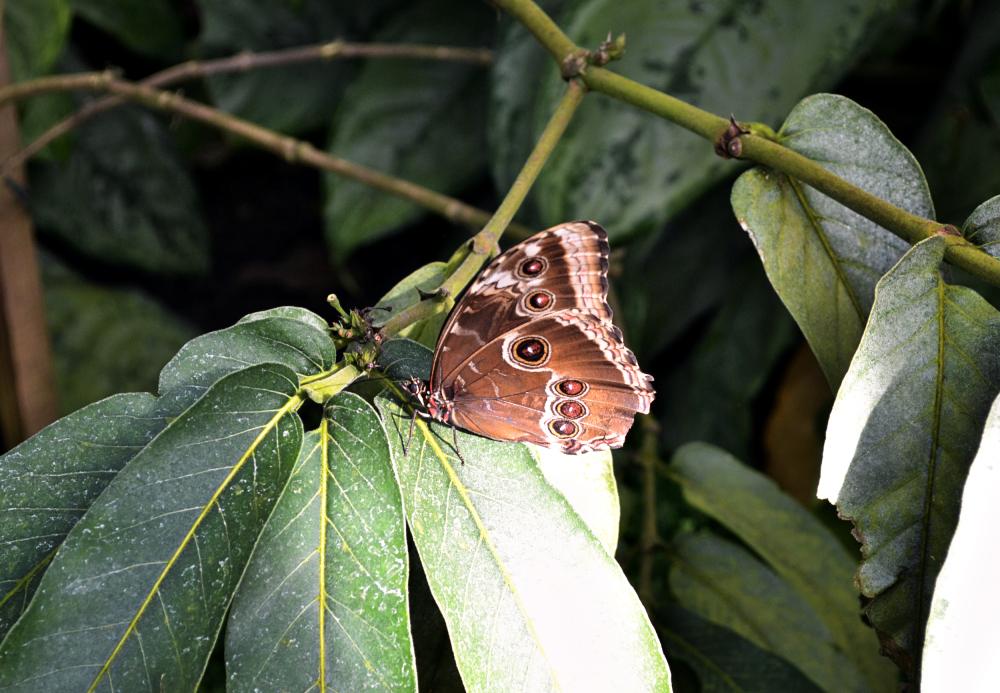 butterfly wisley england