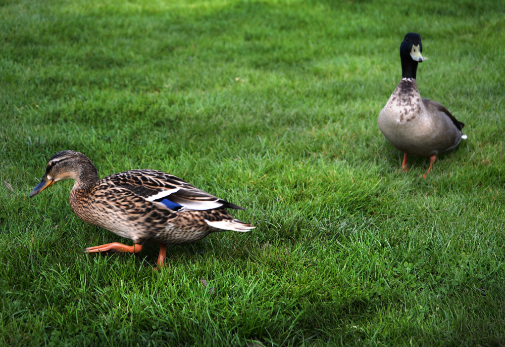 motspur-park england park duck bird