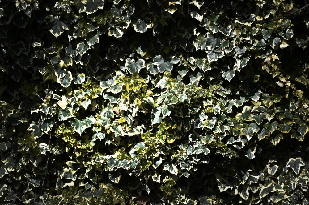 motspur-park england park ivy