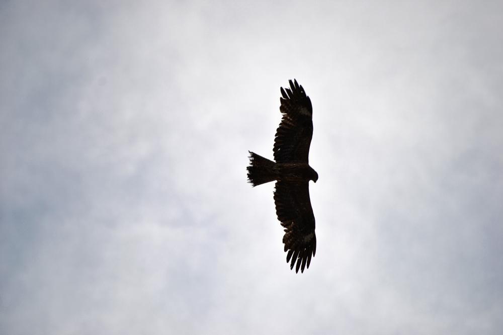tamaño okayama japan beach eagle bird shibukawa