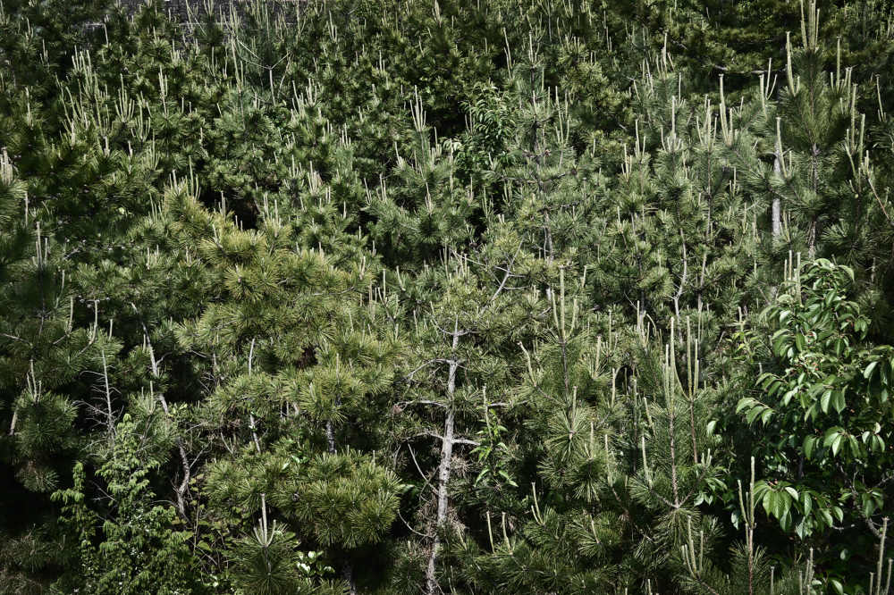 japan kagawa inujima seirensho pine tree
