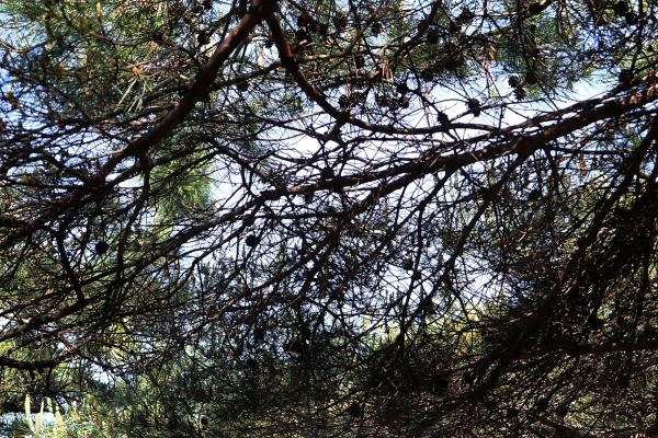 kannonji shikoku japan tree pine