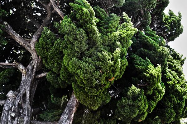 shikoku japan honjima tree pine