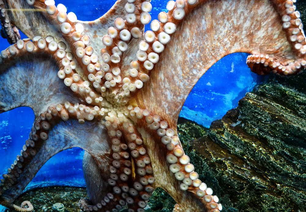 okayama japan tamaño aquarium shibukawa octopus