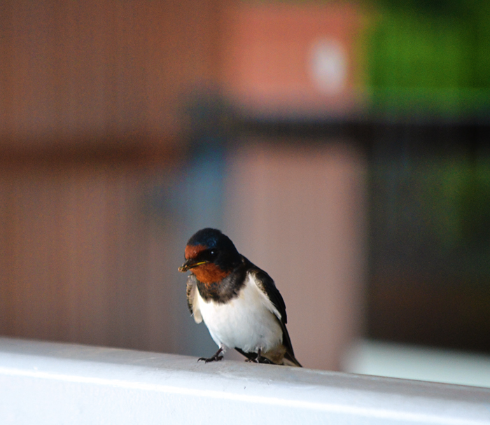 okayama kurashiki japan bird swallow