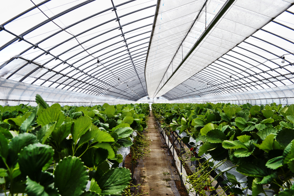 okayama japan strawberry plant polytunnel farm