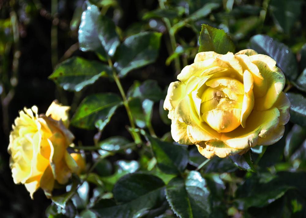 wisley garden england flower rose