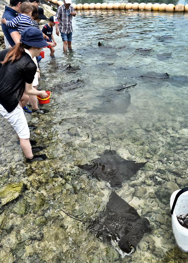 Ray Feeding, Okinawa 3