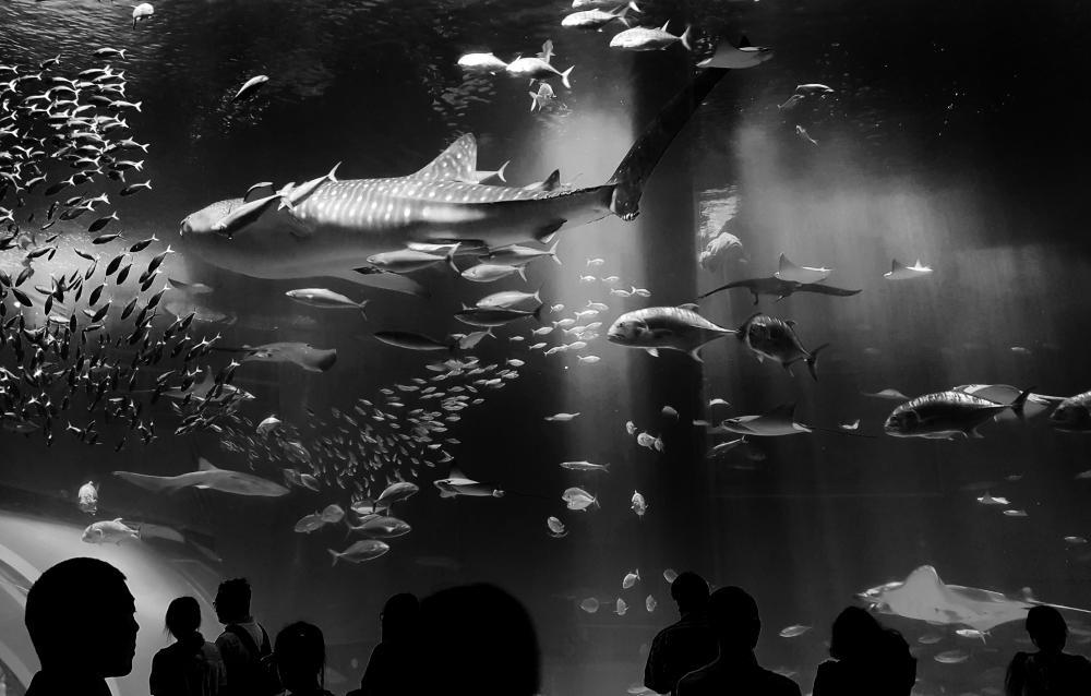 okinawa japan aquarium churaumi-suizokukan