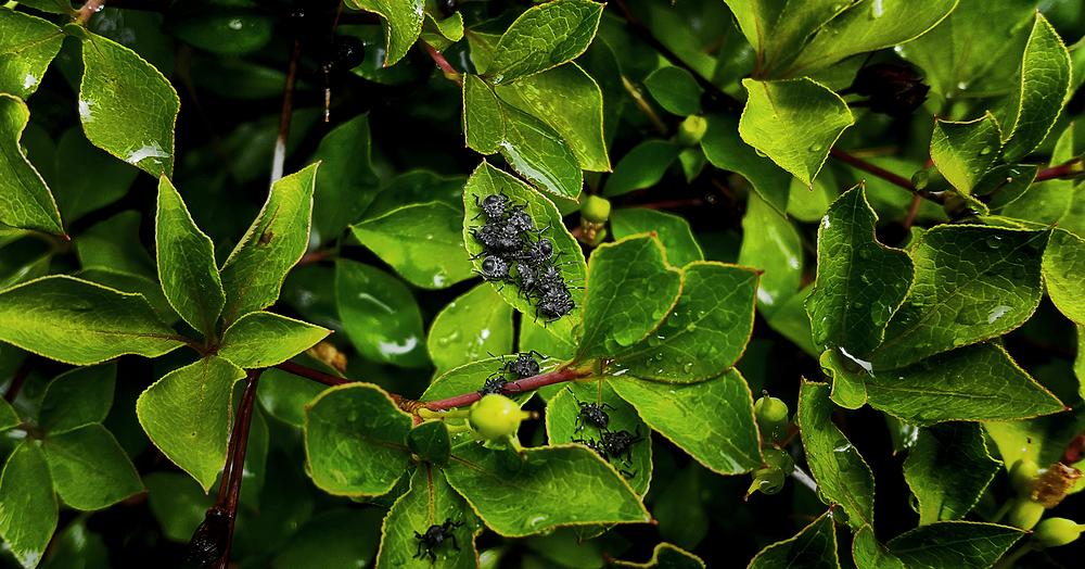 okayama japan garden insect kamemushi stinkbug