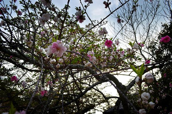 matsuyama shikoku japan sakura blossom