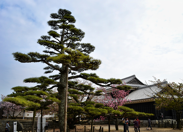 castle matsuyama shikoku japan tree pine