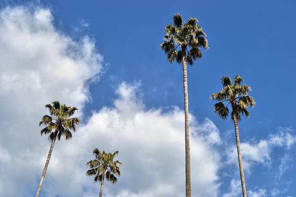 kochi shikoku japan tree palm