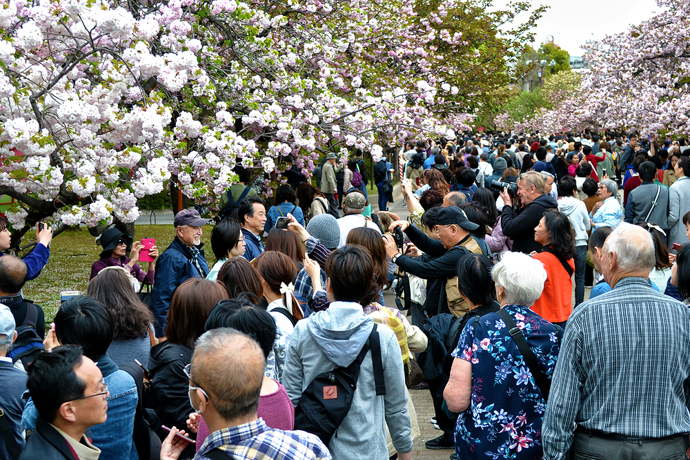 osaka japan osaka-mint sakura tree tourist blossom