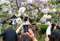 osaka japan osaka-mint sakura tree tourist blossom
